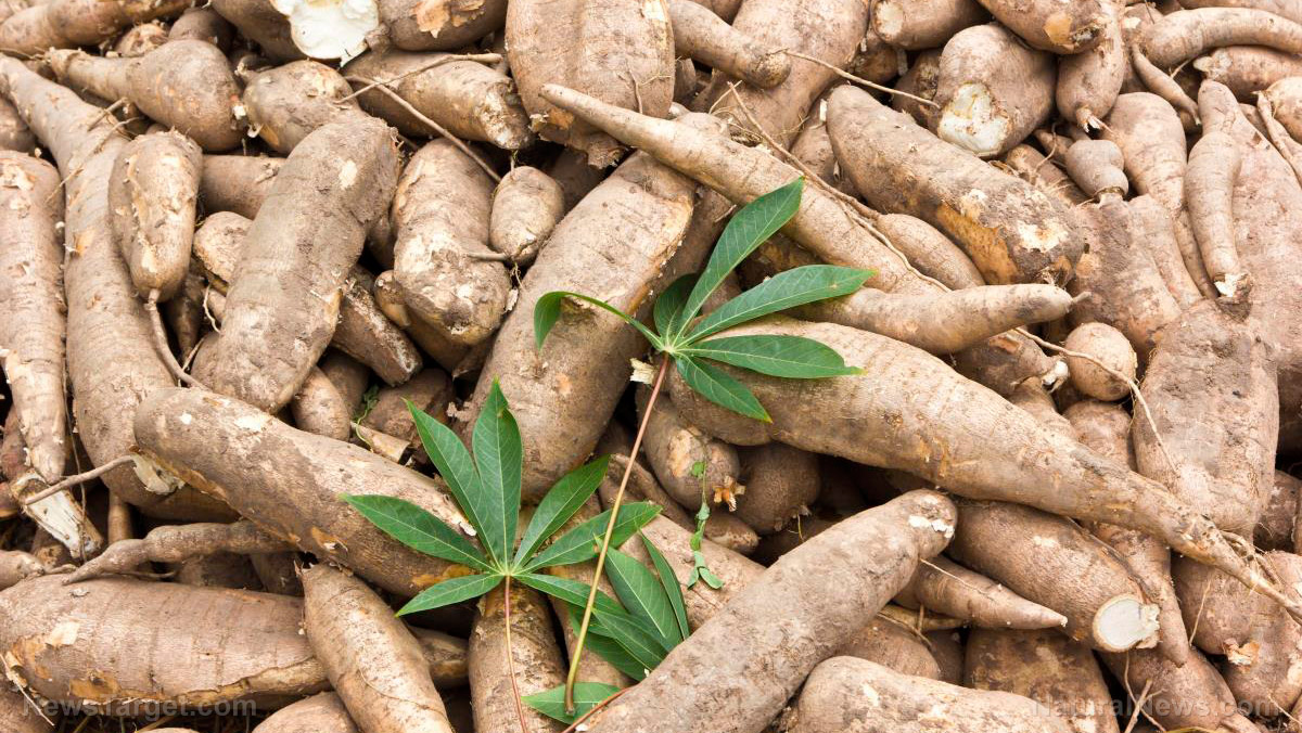 cassava starch is a major component Profile: dadtco – small-scale processing for the cassava cassava is the major starchy food the company's mobile cassava starch factories process fresh.