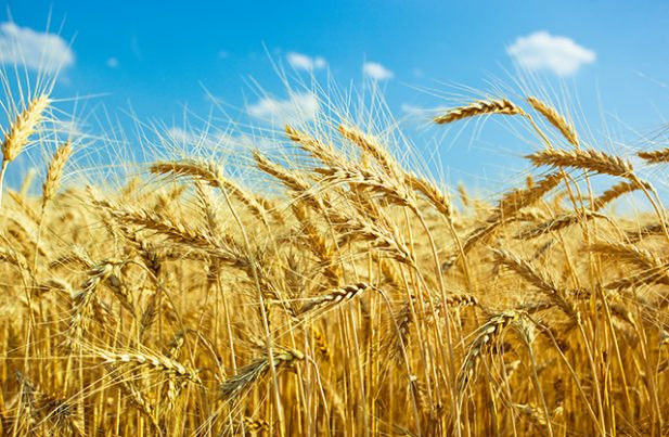 triticale sources health benefits nutrients uses and