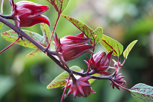 Roselle Sources Health Benefits Nutrients Uses And