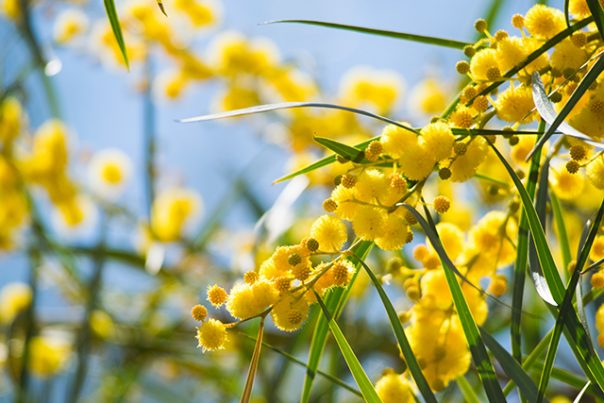 Acacia Sources Health Benefits And Uses